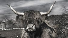 Image for Call Kaye: highland cow phobias