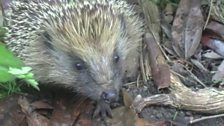 Image for Your Wildlife: Mr Hedgehog