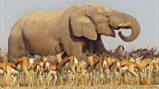 An African elephant at a waterhole