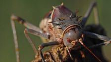 An armoured ground cricket