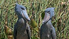 Shoebills