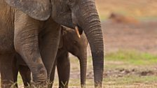 African forest elephants
