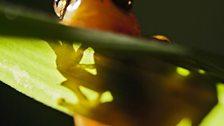 Leaf folding frog
