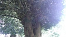 Sunlight glancing off a Yew tree in a graveyard