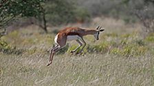A Springbok 'pronks'