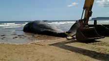 The real whale that was washed up on Redcar beach