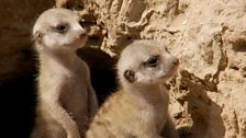 Image for Meerkat Pups