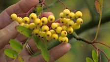 Image for Sorbus 'Joseph Rock'