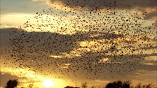 Image for A stunning starling murmuration