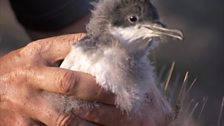 Image for Manx shearwater juveniles' amazing first migration