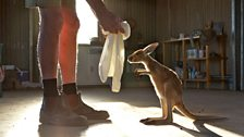 Episode 1 - Teaching an orphan kangaroo joey how to jump into a 'pillow case pouch'...