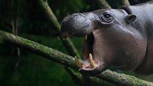 Pygmy hippo yawning