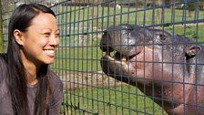 Meeting a pygmy hippo