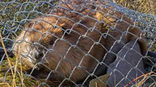 Caged beaver