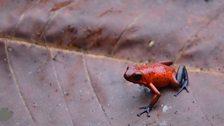 Strawberry Poison Frog (Oophaga pumilio)