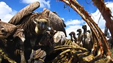 Vultures: Beauty in the Beast