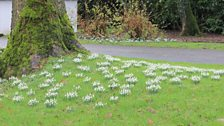 A Celebration of Snowdrops