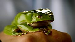 Frog swallow