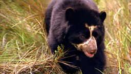 Image for Spectacled Bears - Shadows of the Forest