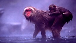 Image for Snow Monkeys