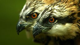 Image for Ospreys