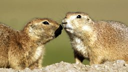Image for Prairie Dogs - Talk of the Town