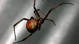 Image for Redback Spider
