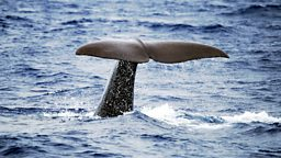 Image for Sperm Whales: Back from the Abyss