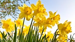 Image for Wild Daffodils