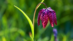 Image for Snake's Head Fritillary