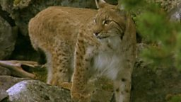 Image for Lugh (Lynx)