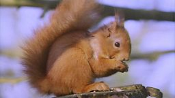 Image for The Red Squirrel