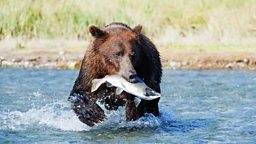 Image for Grizzlies of Alaska