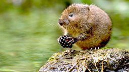 Image for Water Voles