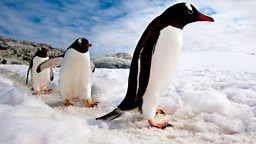 Image for Penguins of the Antarctic