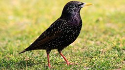 Image for The Starling and Blackbird