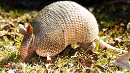 Image for 3. The Beginning of the Armadillos