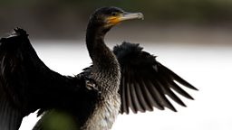 Image for Cormorant