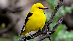 Image for Golden Oriole