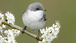 Image for Lesser Whitethroat