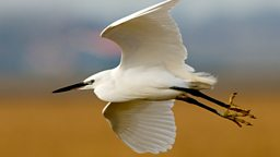 Image for Little Egret
