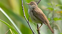 Image for Marsh Warbler