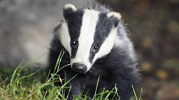 Image for What price the life of a badger?