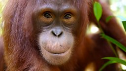 Image for Orangutans: The Great Ape Escape