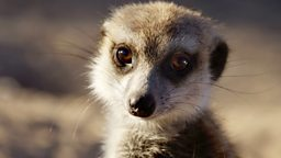 Image for Meerkats: Secrets of an Animal Superstar