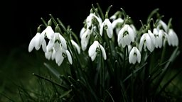 Image for Snowdrops