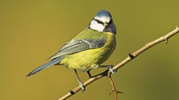 Image for Blue Tit