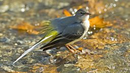 Image for Grey Wagtail