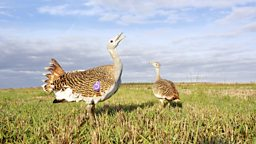Image for Great Bustard