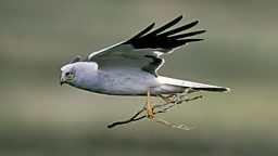 Image for Hen Harrier